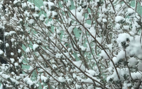 Snow in a dry bush.