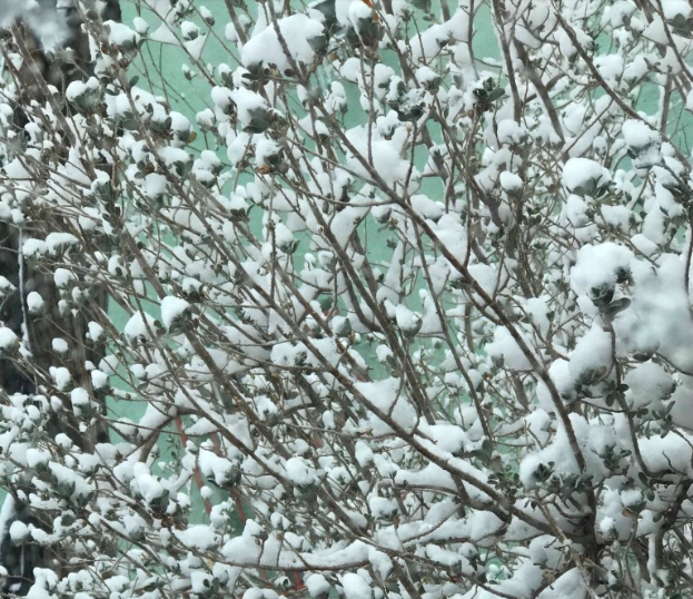 Snow+in+a+dry+bush.